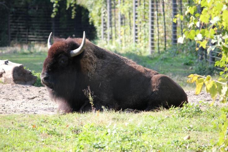 Buffalo en Bronx Zoo
