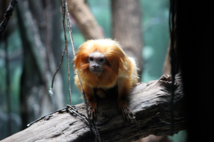 Golden Lion Tamarin en Bronx Zoo