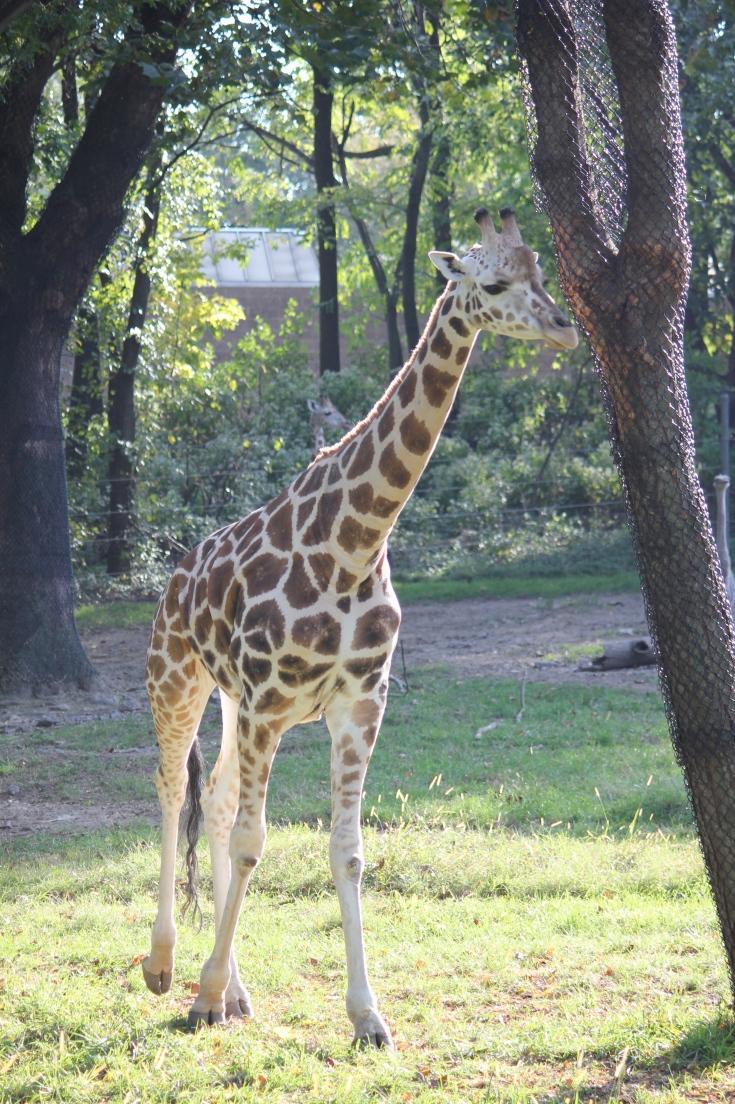 Jirafa en Bronx Zoo