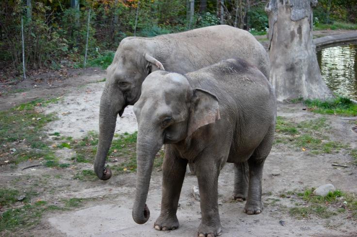 Elefantes en Bronx Zoo